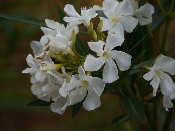 Warum Der Oleander Gelbe Blatter Bekommt Ursachen Und Pflege Mediterrane Pflanzen Pflanzen Und Oleander Pflege