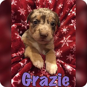 1/6/17***Pictures of Grazie a Pit Bull Terrier Mix for adoption in Smithtown, NY who needs a loving home.