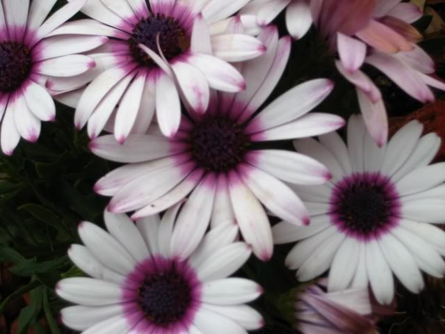 Purple and White Daisies Image