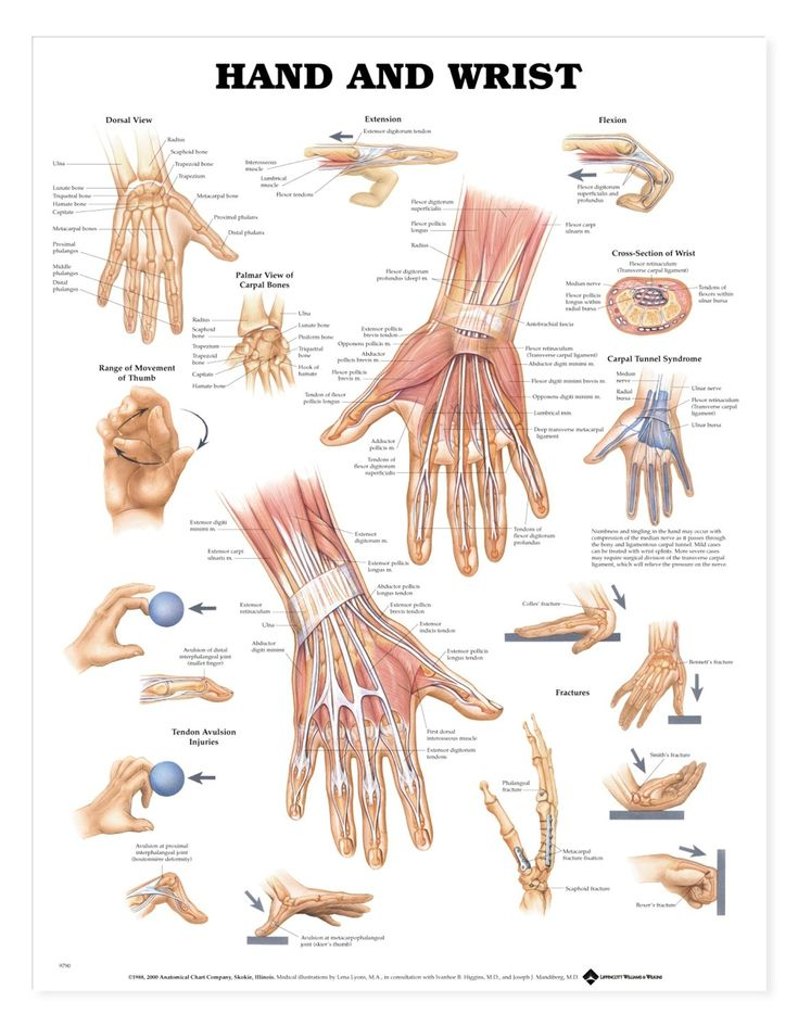 Anatomy Of Hand And Wrist Bones Wrist hand – anatomy atlases, Illustrated encyclopedia of human anatomic variation: opus v: skeletal systems: upper limb. Description from anatomylist.com. I searched for this on bing.com/images