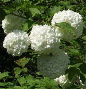 Lumipalloheisi Pohjan Neito, vyöhyke 1 - 3, korkeus 1m, kukkii 6. Kestävyys jopa -32 asteeseen.
