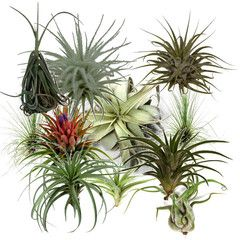 * SUPER SALE * Air Plants in need of Tender Loving Care