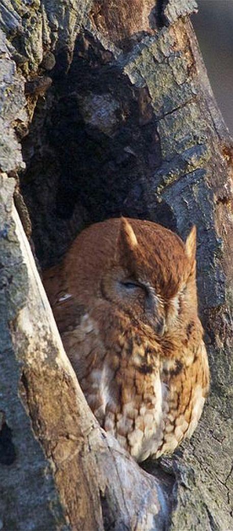 Eastern Screech OWL #by nfarnau on flickr.com