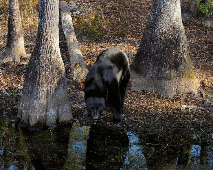 Black Bear Habitat | Where Do Black Bears Live?