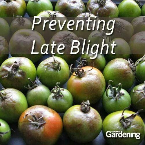 Prevent Tomato Blight Flowers And The Garden Pinterest 400 x 300