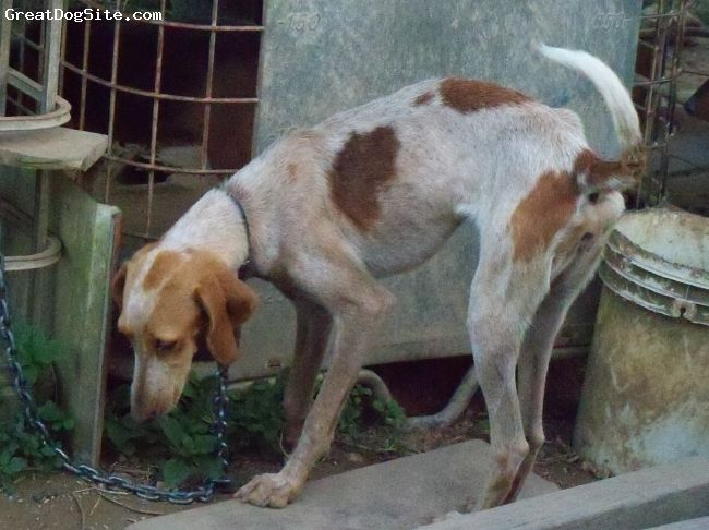 red tick coonhound | photo of a 12 months old, redtick, English Coonhound - born feb 16 ...