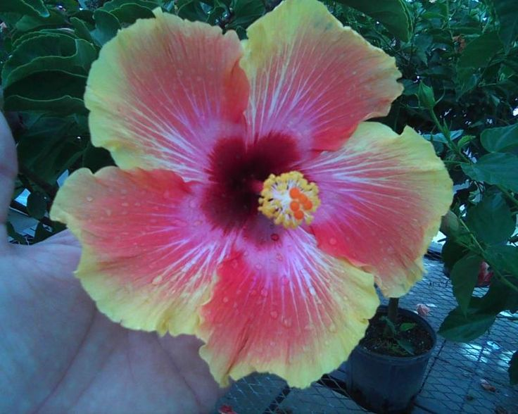 Hibiscus rosa-sinensis 'Hawaiian Sunset' flower closeup