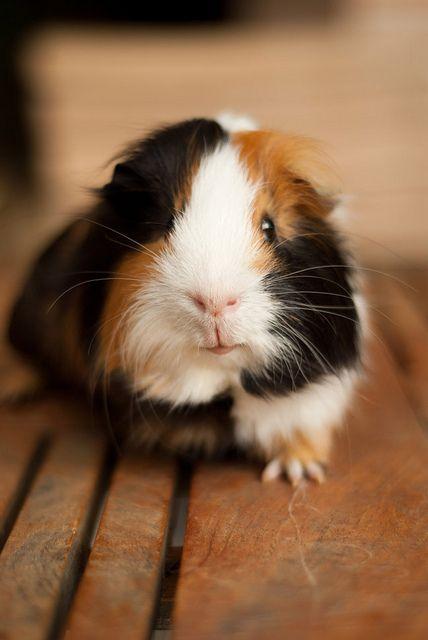 Die besten 17 Ideen zu Meerschweinchen auf Pinterest : Meerschweinchen ...
