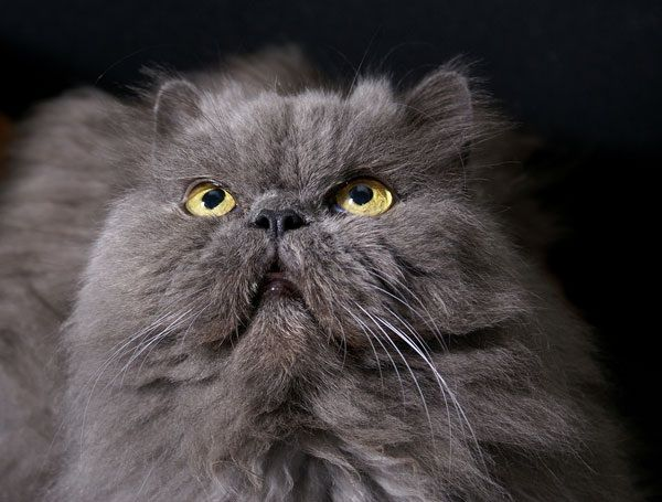 Grey Persian | Cats~Cats~Cats | Pinterest
