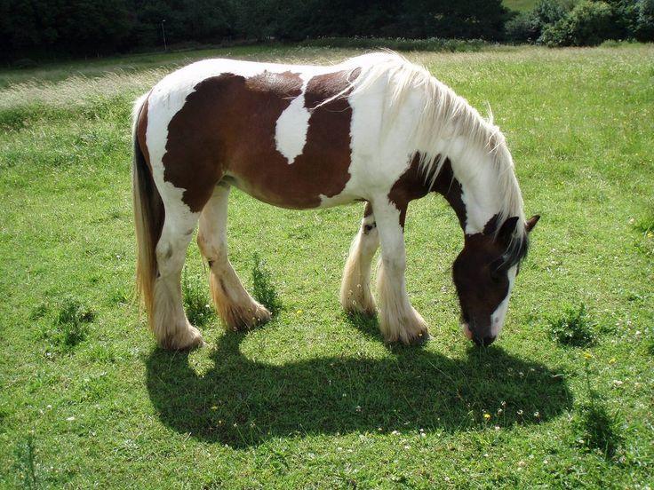Pinto  Cavalo Pinto pastando :: Fotos e imagens