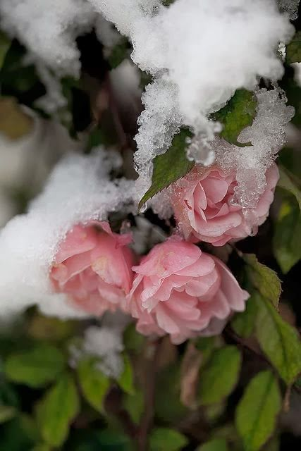Like a rose under the April snow