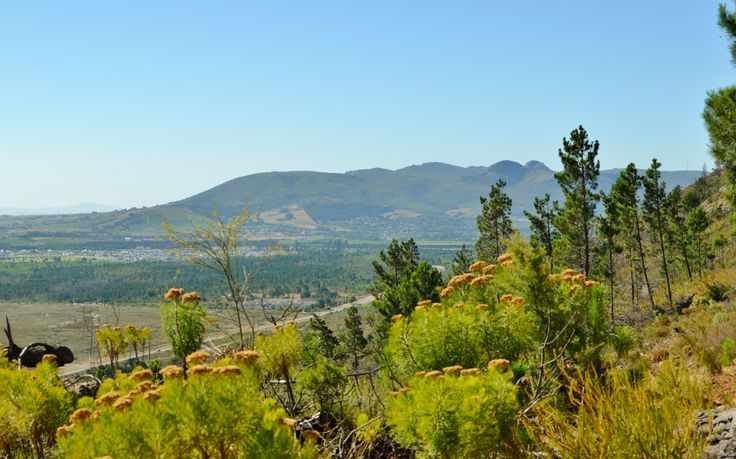 Fynbos and #Paarl mountain - #ValdeVie Estate also visible in distance.