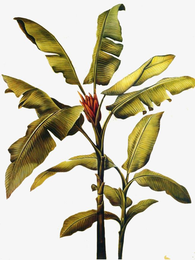 Banana Leaves Banana Clipart Tropical Plants Png Transparent Clipart Image And Psd File For Free Download Botanical Illustration Vintage Plant Illustration Tree Plan Photoshop