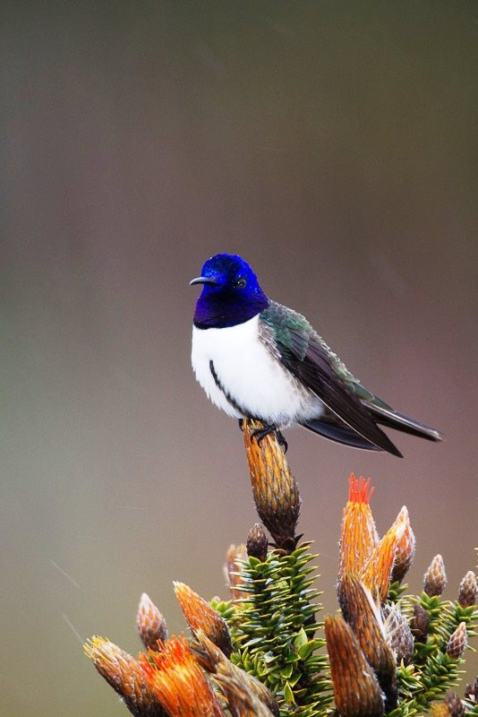 Simply beautiful, the Ecuadorian Hillstar (Oreotrochilus chimborazo) is a species of hummingbird. It is found in grassland, scrub and stunted woodland at altitudes of 3,500 to 5,200 meters in the Andes of Ecuador and far southern Colombia.