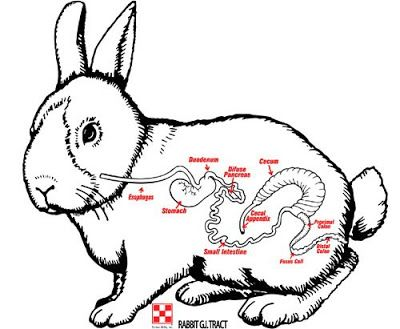 Diagram Rabbit Care Guide Digestive System Diagram Schematic Circuit