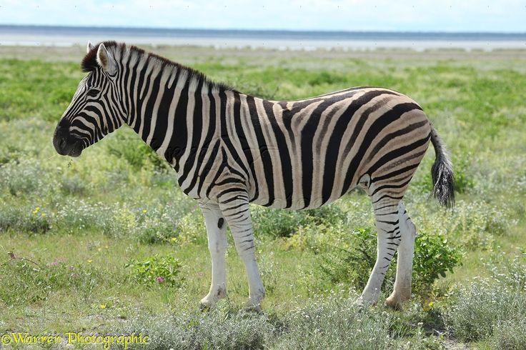 plains zebra   WP23445 Plains Zebra ( Equus burchelli ). Africa .