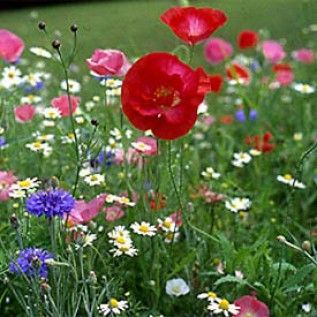 Looking for quick color? All Annual Wildflower Seed Mix – Wildflower Seeds from American Meadows