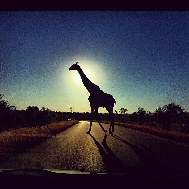 Amazing Africa - Giraffe crosses the road at the Kruger National Park (Dale Steyn Instagram Image)