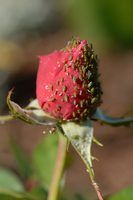 Use homemade insecticide to kill the bugs on your roses.