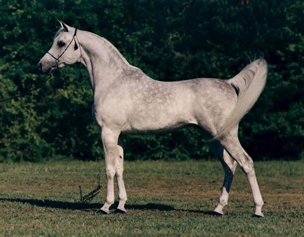 Ansata Arabian Stud in Texas had some of the most beautiful Arabian horses.