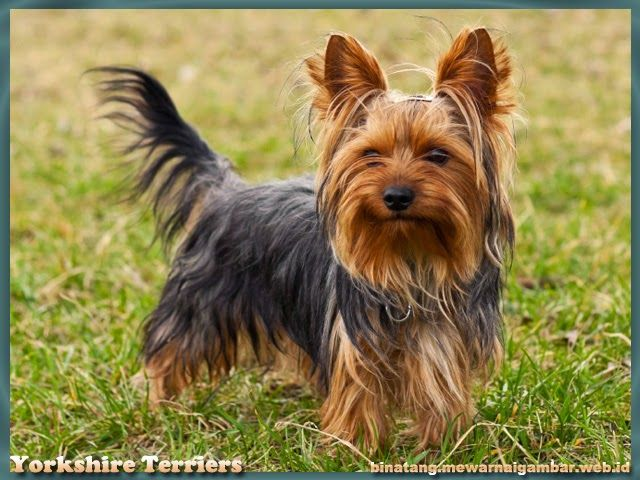 Gambar Anjing Yorkshire Terriers