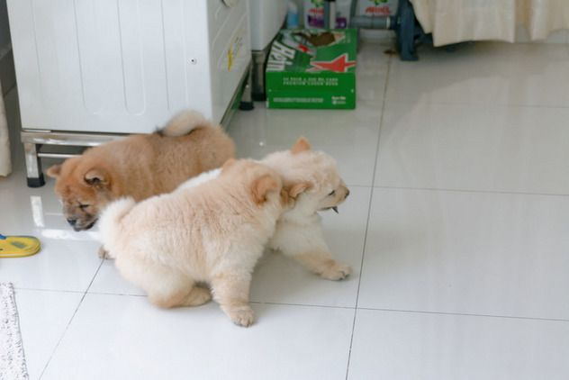 Very Rare Colour Chow Chow Puppies for sale in Woore, Crewe, Cheshire, North West | Dogs and Puppies