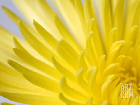 Close Up of the Petals of a Yellow Chrysanthemum Flower Photographic Print by Vickie Lewis at Art.com
