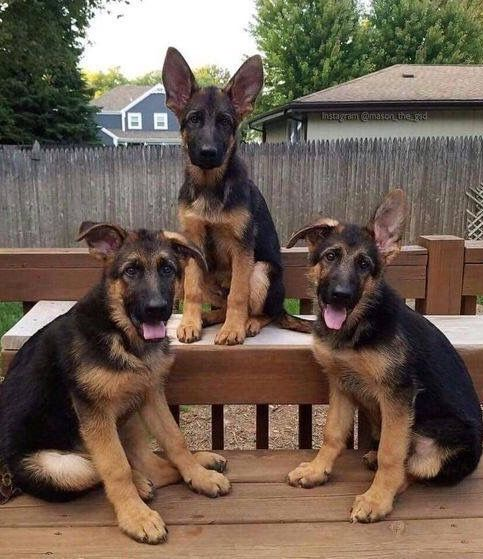 GSD brothers for life!