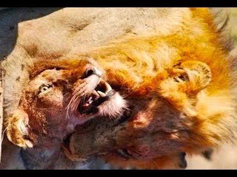 MAPOGO LIONS DOCUMENTARY - National Geographic Documentaries - WILD