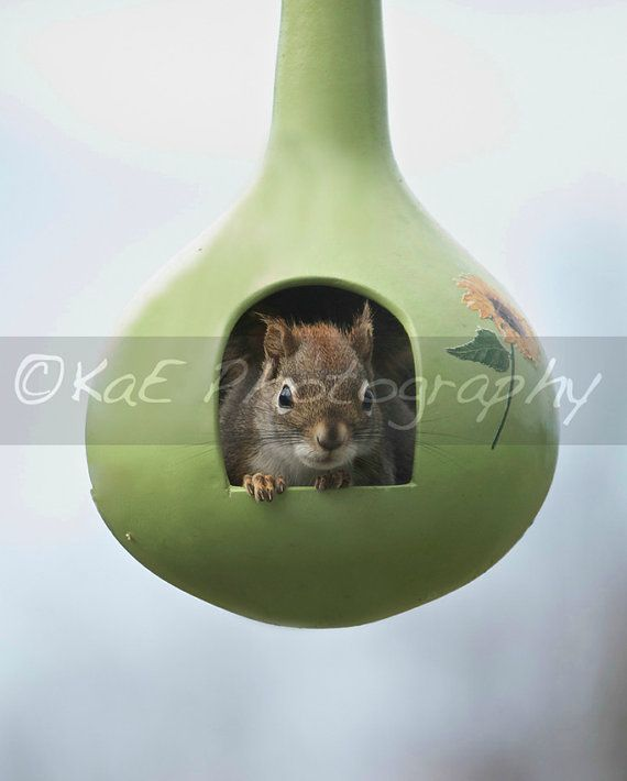 NEW - For Sale in my Etsy Store:  Squirrel in Bird Feeder Prints by KaEPhotography on Etsy.  Come by and have a peek.