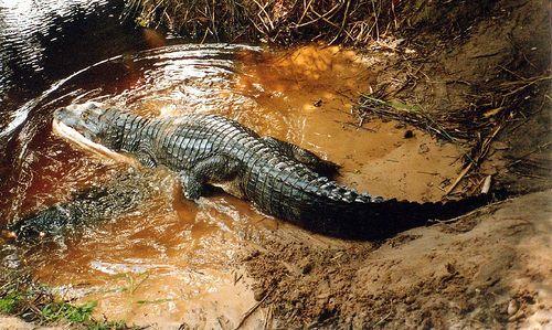 Jacaré-do-pantanal, o Caiman yacare, encontrado nos estados do Mato Grosso e Mato Grosso do Sul, Brasil, e ainda em terras da Bolívia e Paraguai.  Fotografia: bongo vongo no Flickr.