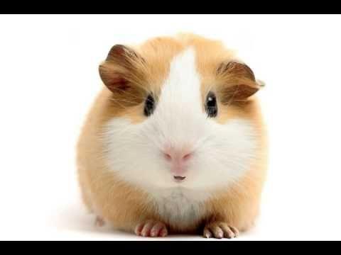 Happy Birthday! - Funny Birthday Songs (Gary the Guinea Pig) - YouTube