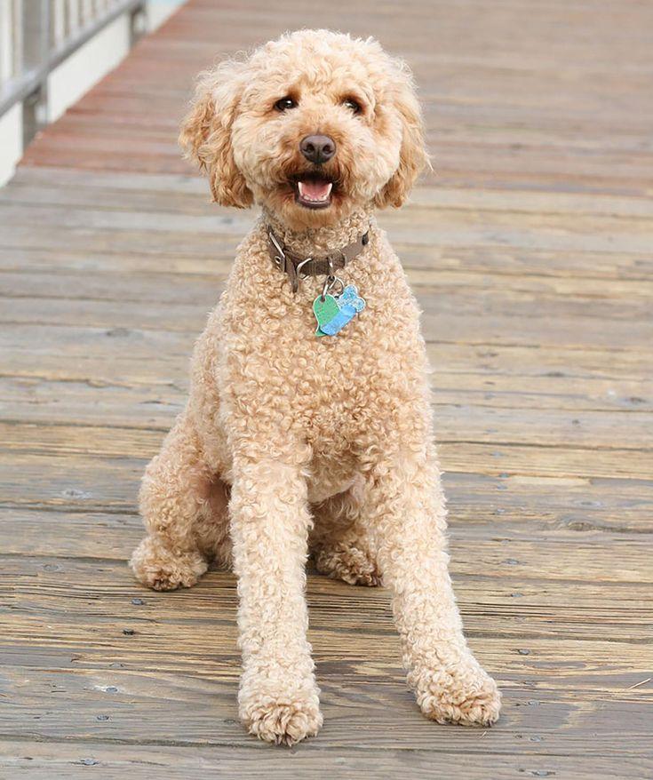 Doxiepoo Puppies For Sale Australia Ideas