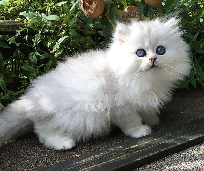 Chinchilla Persian Kittens Chinchilla Teacup Persian Kitten In 2020 Persian Kittens Teacup Persian Kittens Cute Cats And Dogs