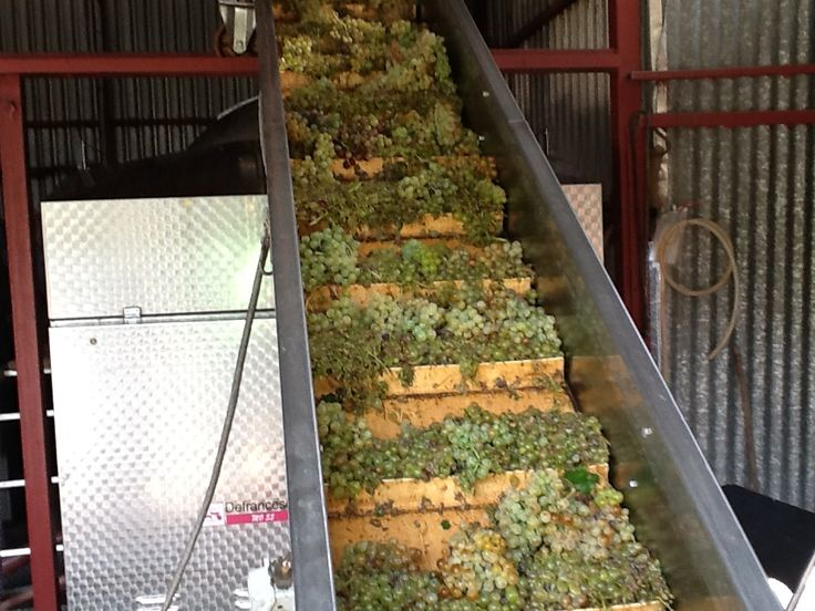 Grape conveyor belt which carries the Sauvignon Blanc grapes to the 3tn auto inox Italian presser at Domaine Harlaftis winery and vineyards, Stamata, Greece.