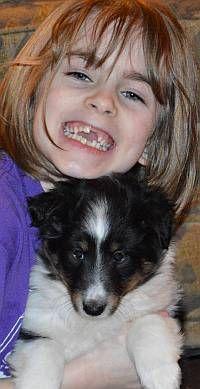 Shetland Sheepdog Puppies NY | Sheltie Puppies for Sale NY