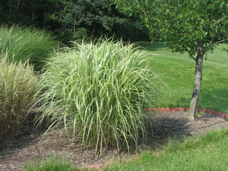 Variegated maiden grass perennials pinterest grasses for Maiden grass landscaping ideas
