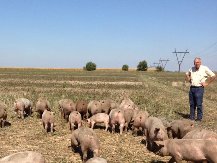 Pigs arrival in the summer, Norm (owner) looks over them as they graze on their open pasture of non-GMO alfalfa and clover! #peepinc #pastureraised #PastureEggsEnPork #nonGMO #chemicalfree #fertilizerfree #antibioticfree #sustainablefarming #healthypigs #pork