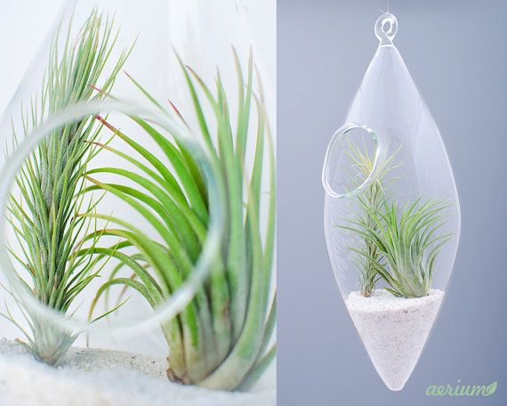 Beautifully handmade terrarium by romanian glass artisans. Dimensions are about 22 cm height and about 8 cm. This is borosilicate glass which is handmade, mouth-blown. Airplants are included https://www.etsy.com/shop/Aerium