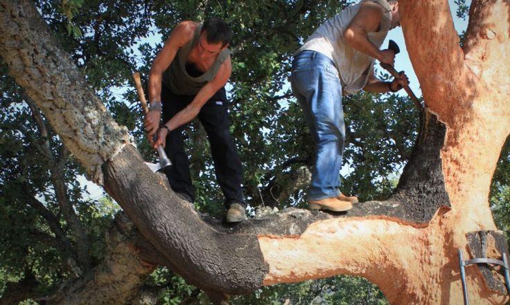 Trabajadores haciendo el descorche (© WWF España) ASI SE CONSIGUEN LOS FAMOSOS CORCHOS para las botellas