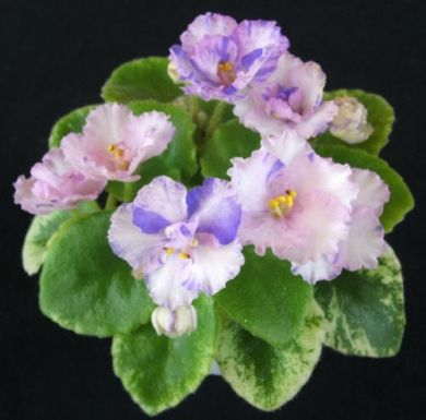 Robs Itchy Britches - The Violet Barn - African Violets and More