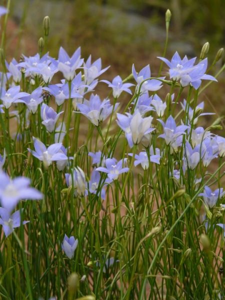 Wahlenbergia communis (Tufted Bluebell) 0.15 – 0.5m (h) x 0.15m (w)