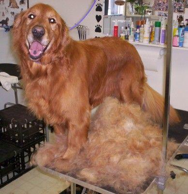 Golden retriever breed standard grooming