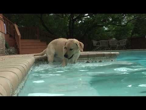Yellow Lab Puppy's 1st Splash & Swim (in HD)