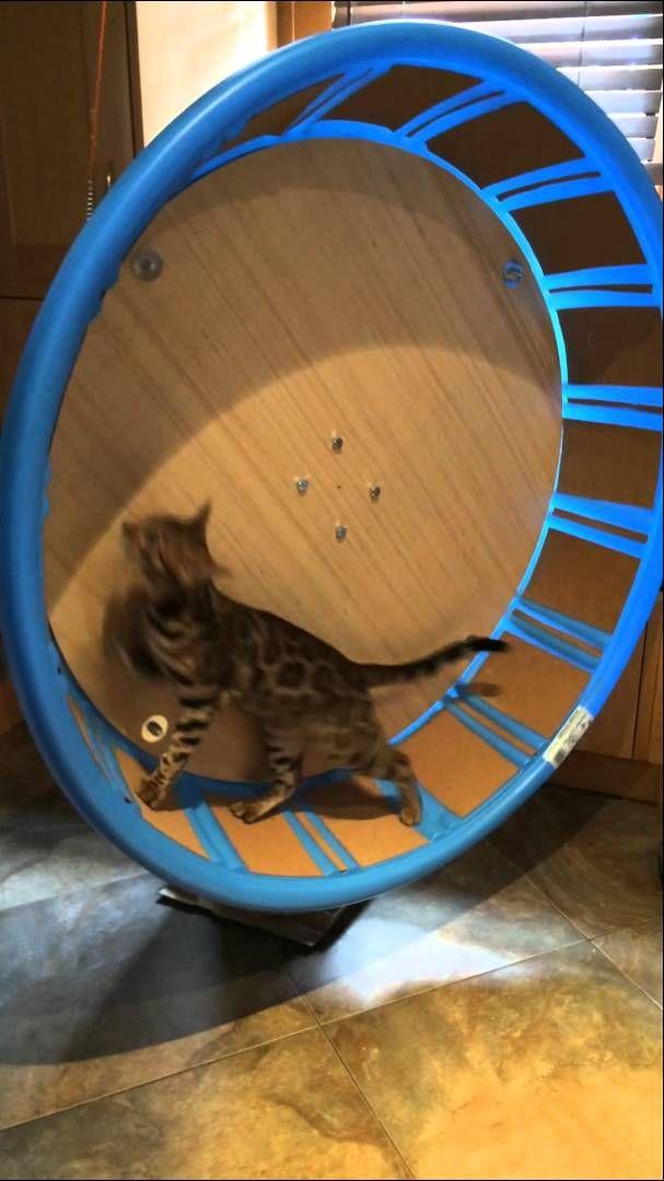 Cat Exercise Wheel For Under 100$