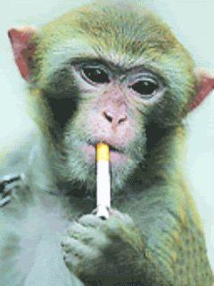 Cute Curious George Wallpaper 183 Best Smoking Monkeys Images On Pinterest Monkeys
