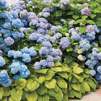 French hydrangeas paired with hostas