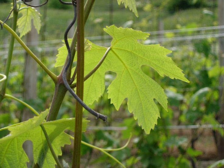 foglie di vite a primavera