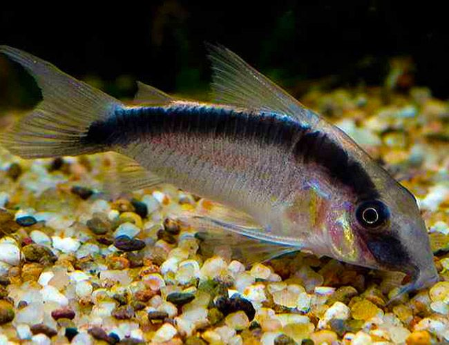 37 best freshwater fish all other catfish images on for Fish tank catfish
