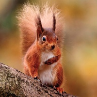 Here's an adorable picture of Rusty, our newly adopted Brownsea Island Red Squirrel (photo by STEWART CANHAM)